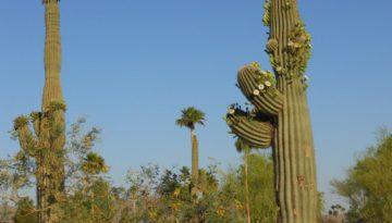 saguaro-cactus-102291_1280